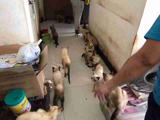 Siamese cats in hoarder's apartment