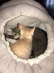 Foster kitten brothers