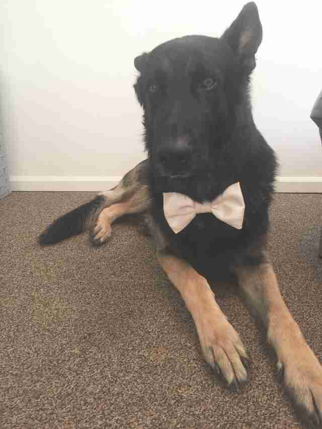 german shepherd wears bow tie