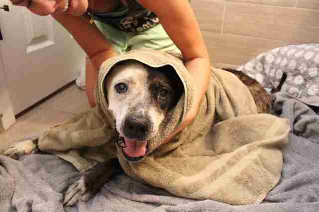 Rescued senior dog in big towel