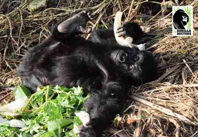Baby gorilla caught in snare