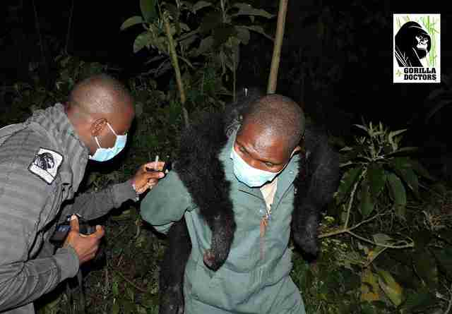 Rescue team carrying orphaned gorilla