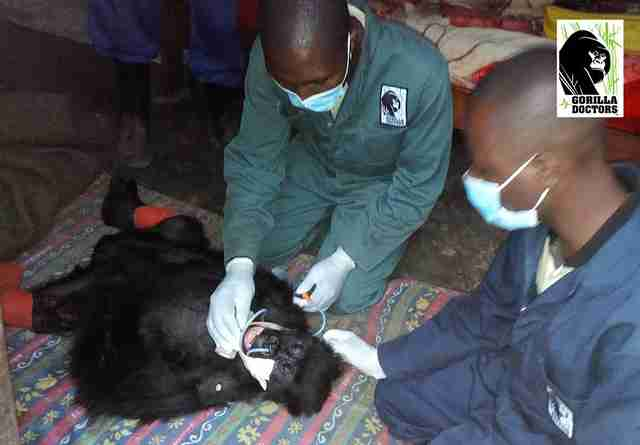 Rescue team with injured baby gorilla