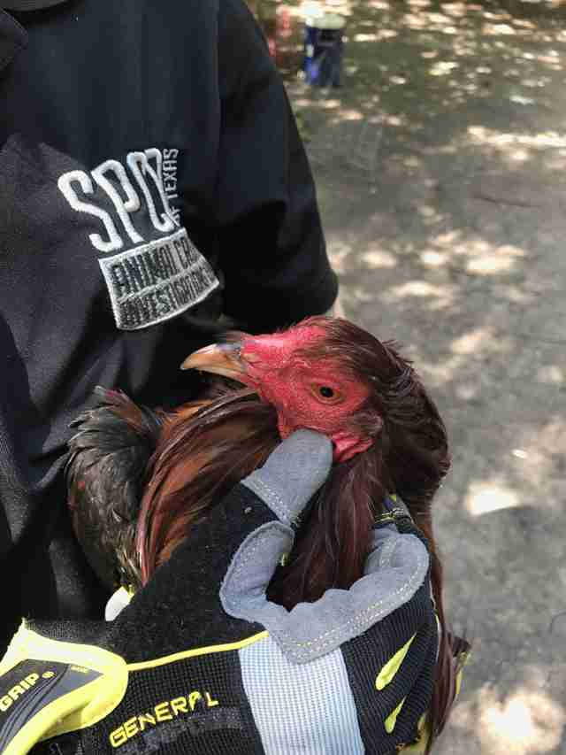 Rooster rescued from cockfighting