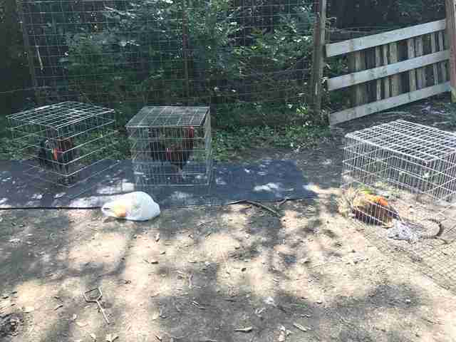 Caged roosters at cockfighting bust