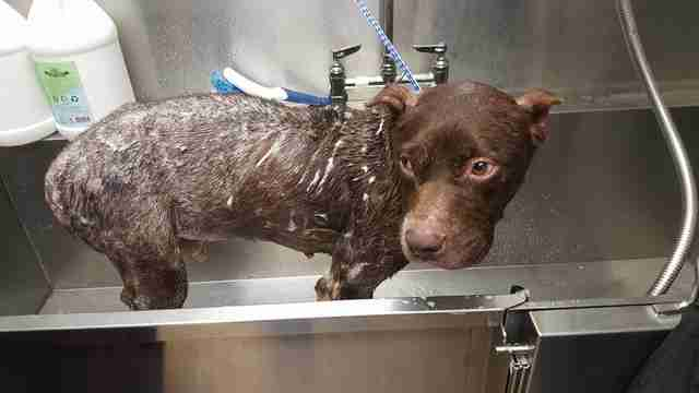 Rescued dog getting medicated bath