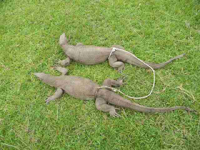 Monitor lizards tied together