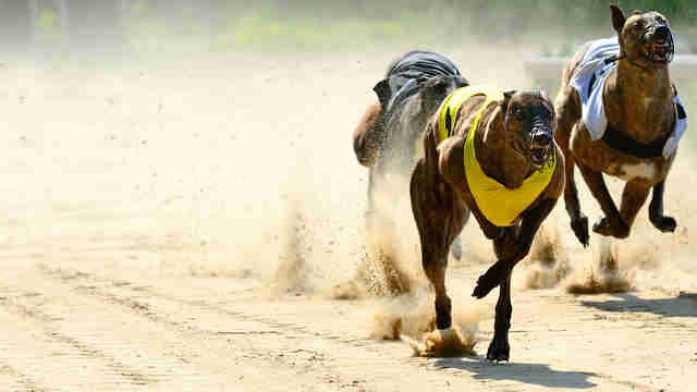 Greyhound racing industry drugs dogs