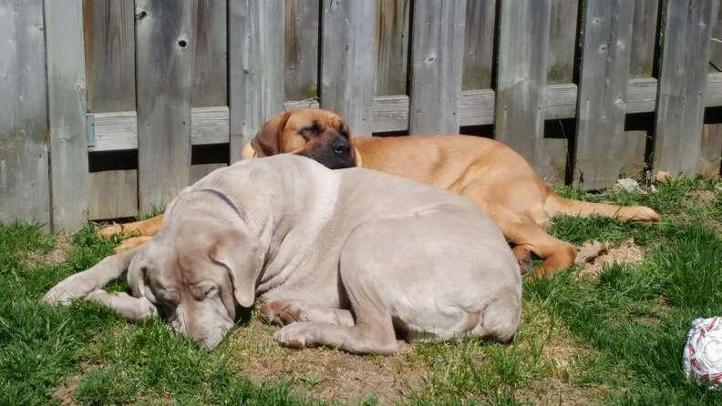 Rescued mastiff dogs