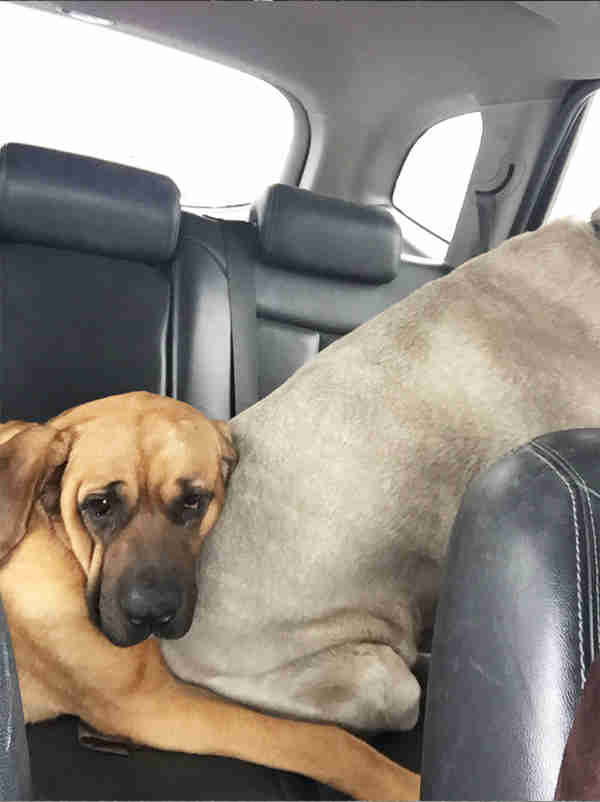 Rescued mastiff dogs in car together