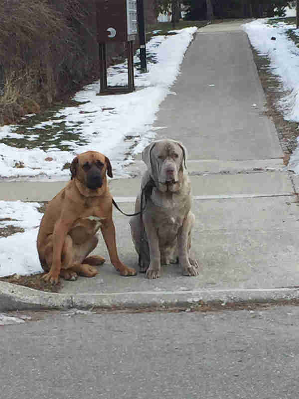 Rescued mastiff dogs walking together