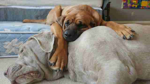 Rescued mastiff dogs snuggling together