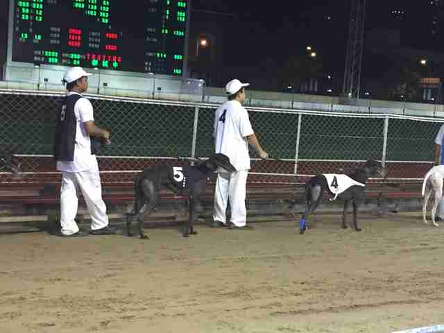 Racing greyhounds at the Canidrome track in Asia