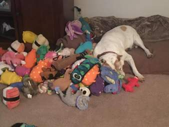 senior rescue dog with hundreds of toys