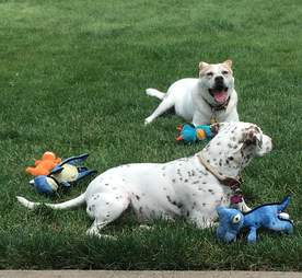 senior dog in yard with friend and toys
