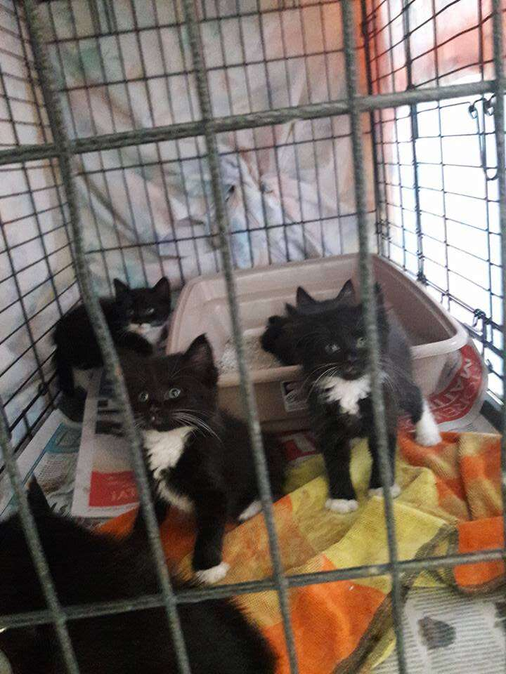 Tuxedo kittens after being rescued