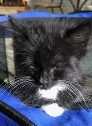 Rescued tuxedo kitten
