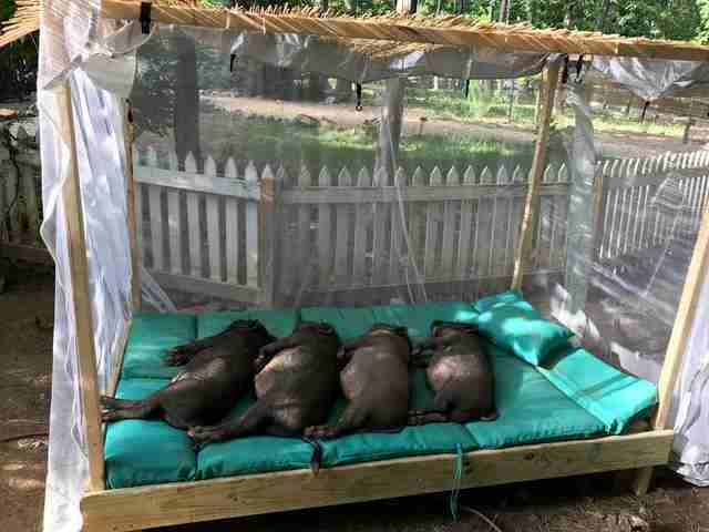 Rescue pigs on day bed