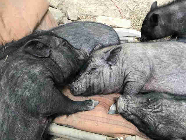 Rescued pigs cuddling together
