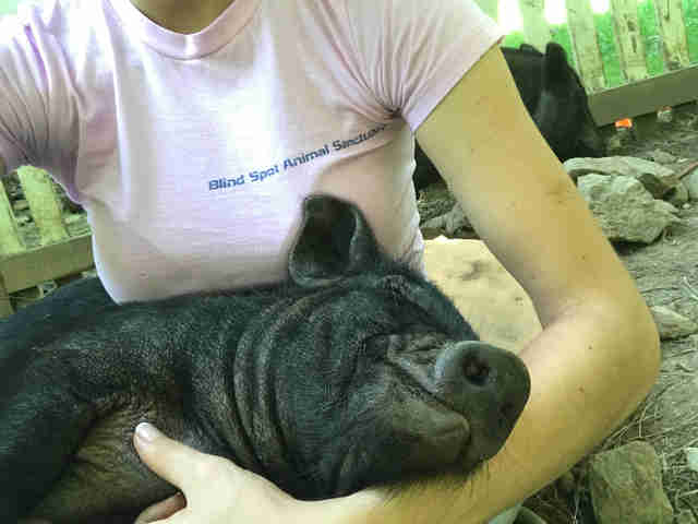 Woman cuddling rescue pig