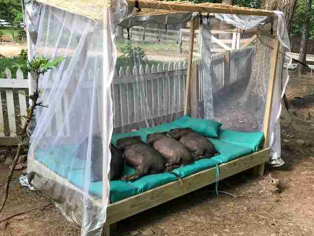 Rescue pigs in daybed