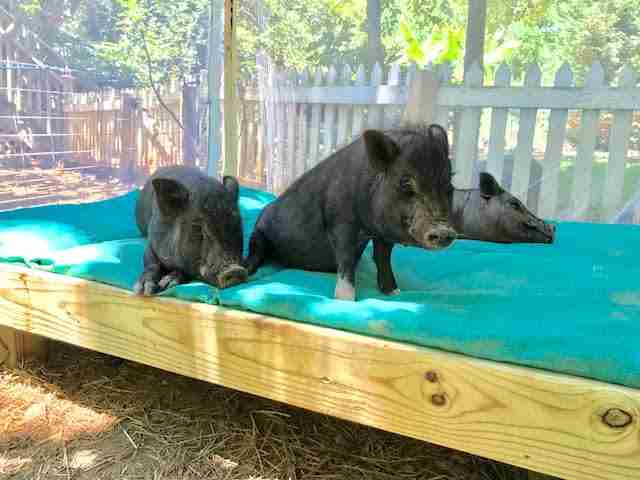 Rescue pigs on daybed