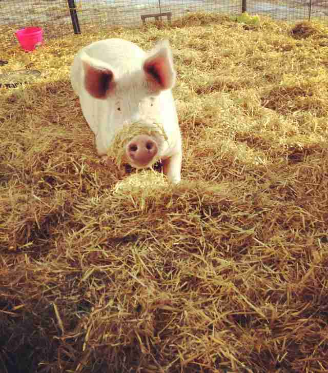 rescued pig at canada sanctuary