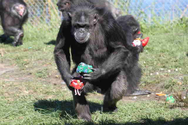 Chimp enjoying life at sanctuary