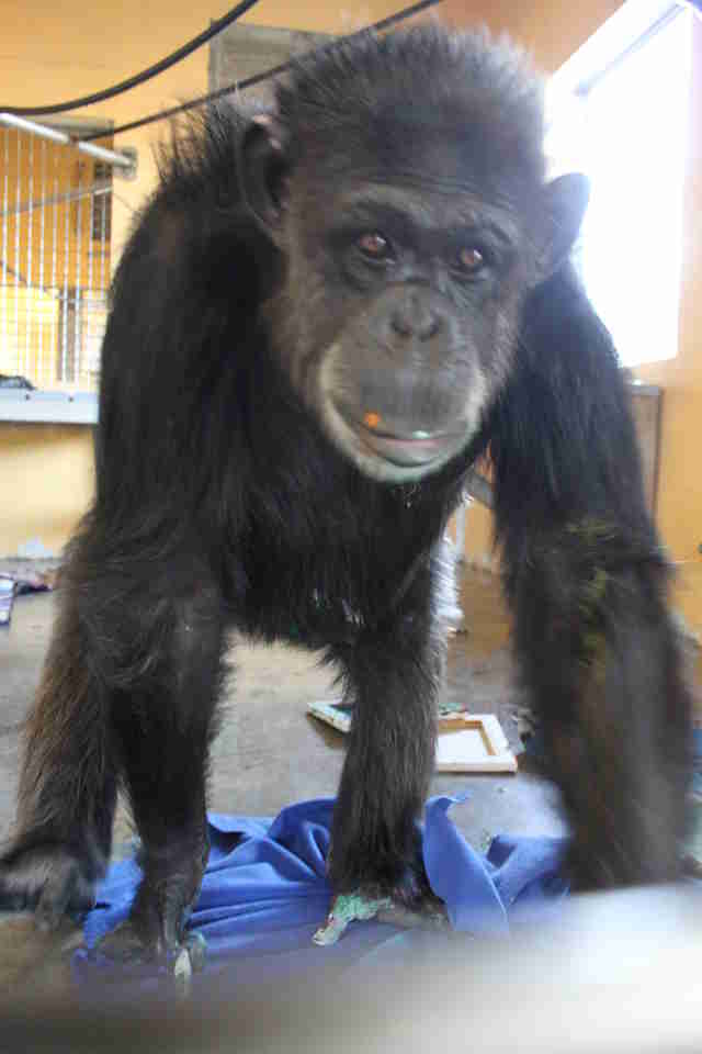 Chimp rescued from being a pet