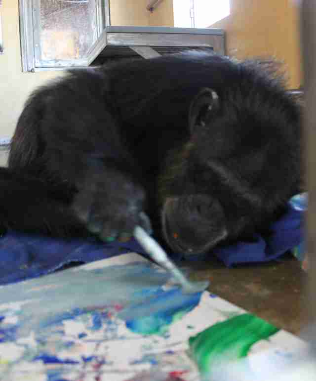 Rescued chimp loves painting