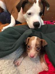 Rescue dog looking after foster puppy