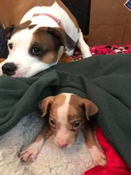 Dog looking after foster puppy
