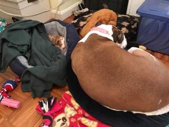 Dog sleeping next to foster puppy