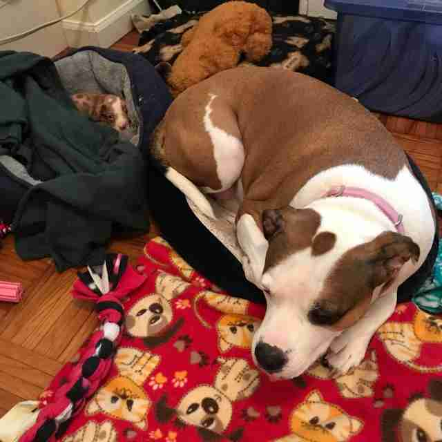 Dog sleeping next to foster puppy