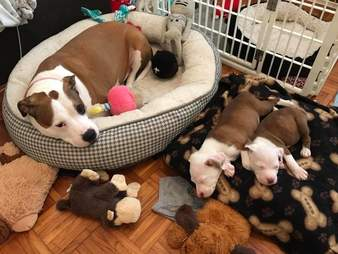 Rescue dog with foster puppies