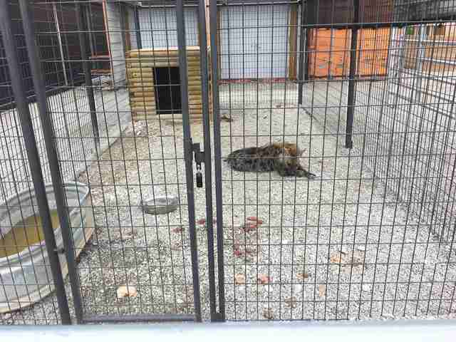 Hyena in gravel cage
