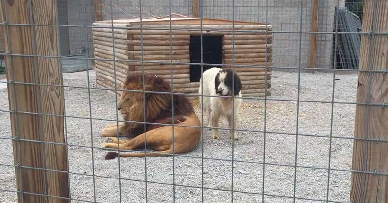 Lion and dog in enclosure