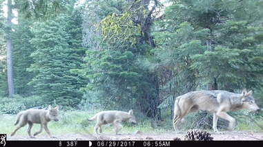Gray wolf family in California
