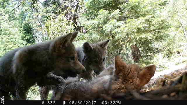 Gray wolf pups in California