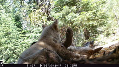 Wild gray wolf pups wrestling in California