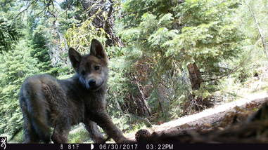Gray wolf pup discovered in California