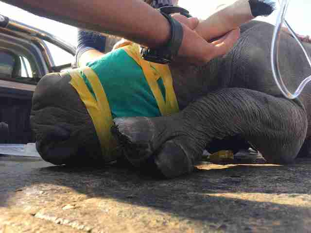 infant rhino during rescue