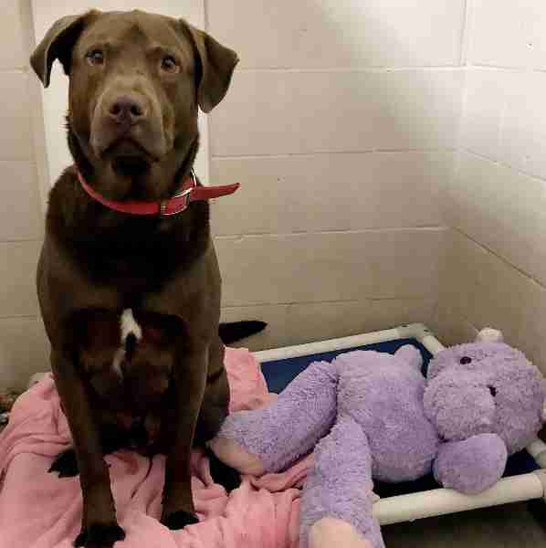 Shelter Dog Investigated For Suspected Attack On Stuffed Hippo