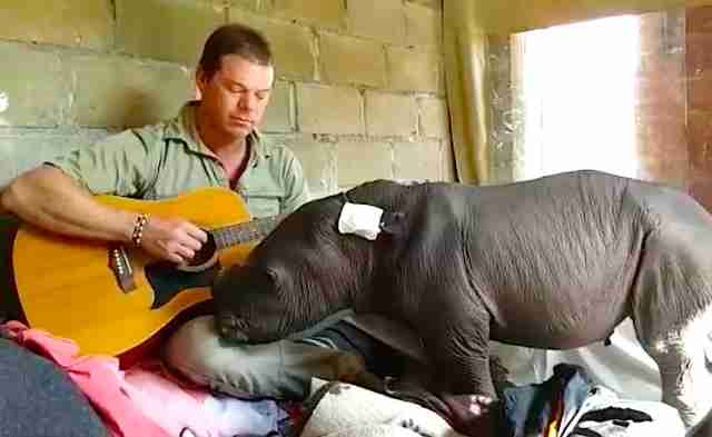 man plays guitar to rhino