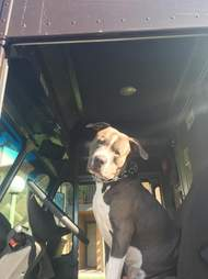 Pig bull dog in UPS truck