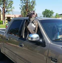 Pit bull dog getting a ride in a truck