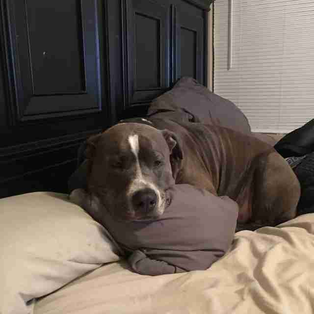 Pit bull dog looking sad