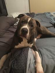 Pit bull dog on bed