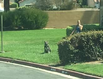 Woman walking pit bull