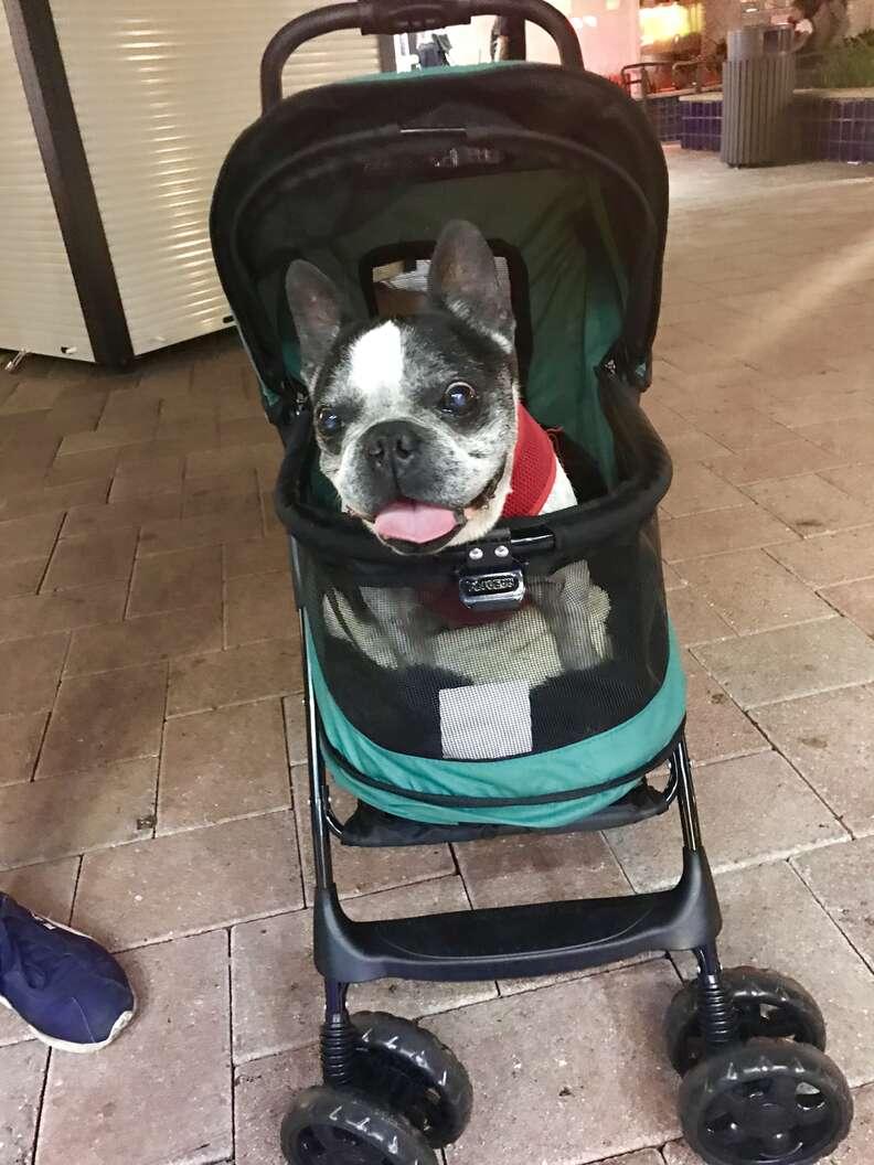 blind deaf dog gets stroller
